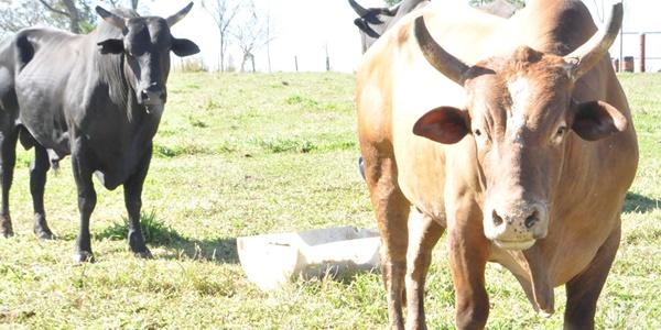 agressivo touro rodeio