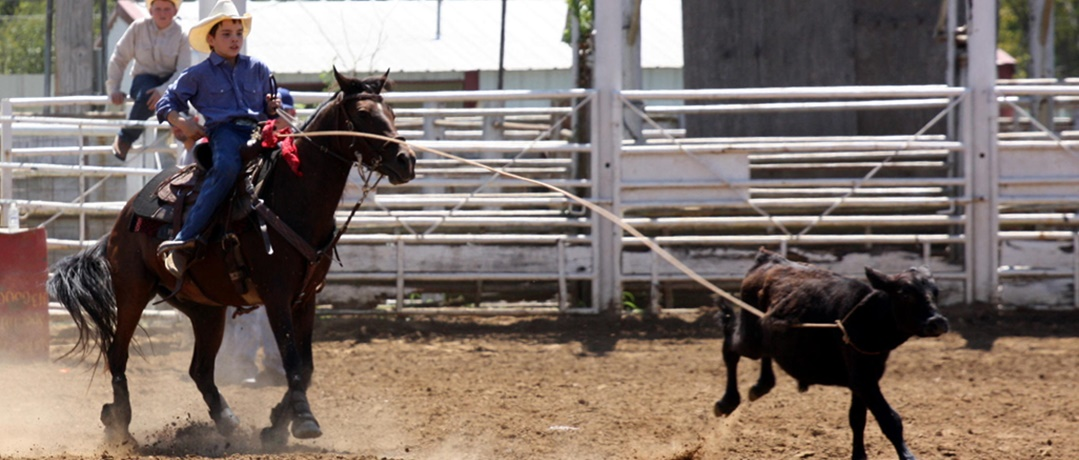 Calf Roping - Domínio do animal pelo laço