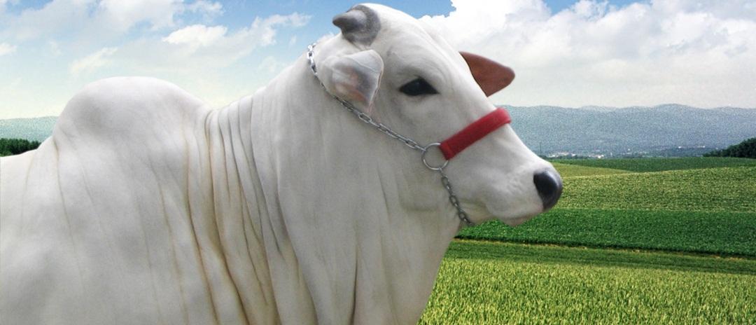Quais os cuidados na criação do gado de corte?