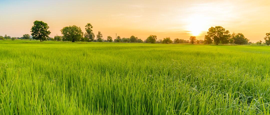 Começando uma plantação de arroz